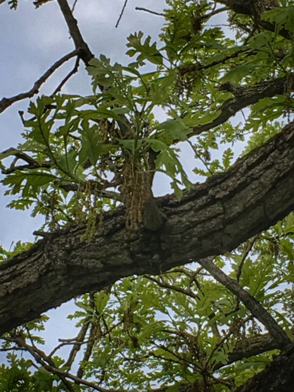 Bur Oak catkins