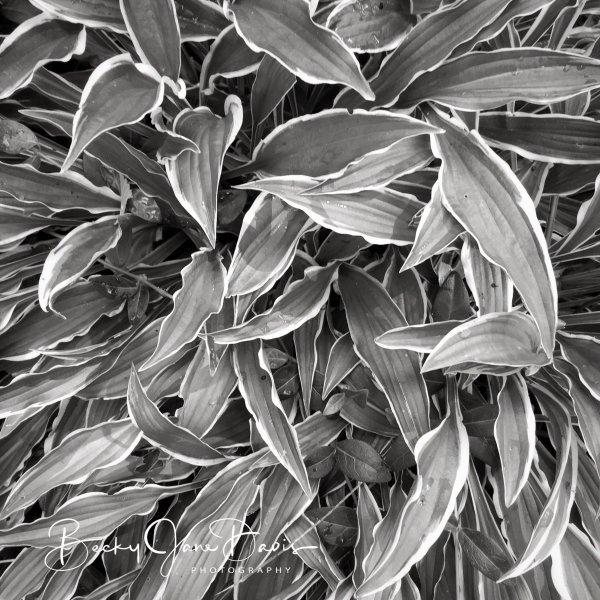Needle Leaf Hosta