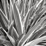 Variegated Iris Leaves