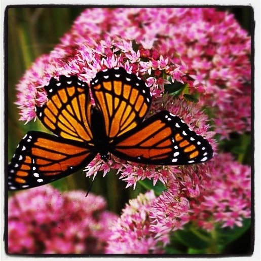 Monarch on Autumn Joy Instagram