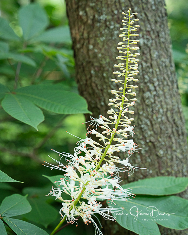 Bottlebrush Buckeye Full View