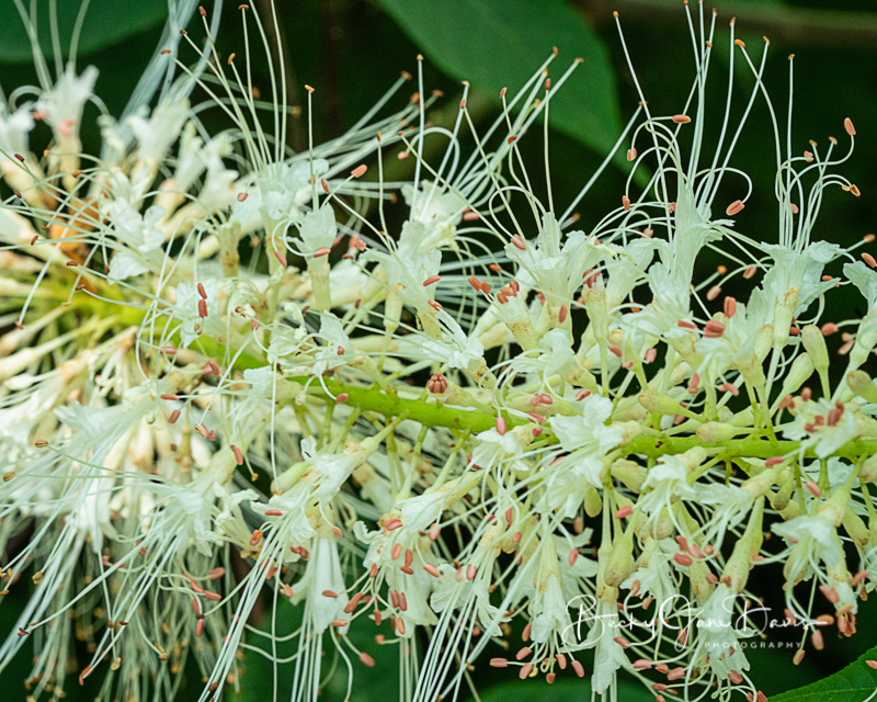 Bottlebrush Buckeye Close Up