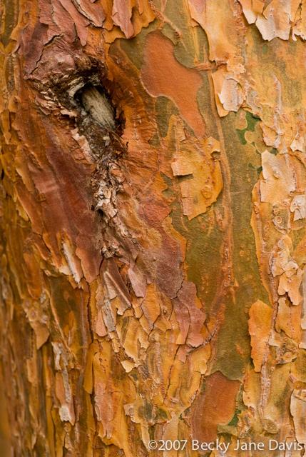 Arboretum Pine