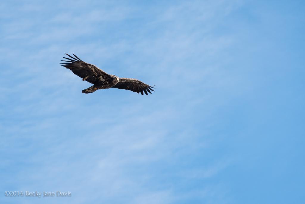 BDavis_Eagle01