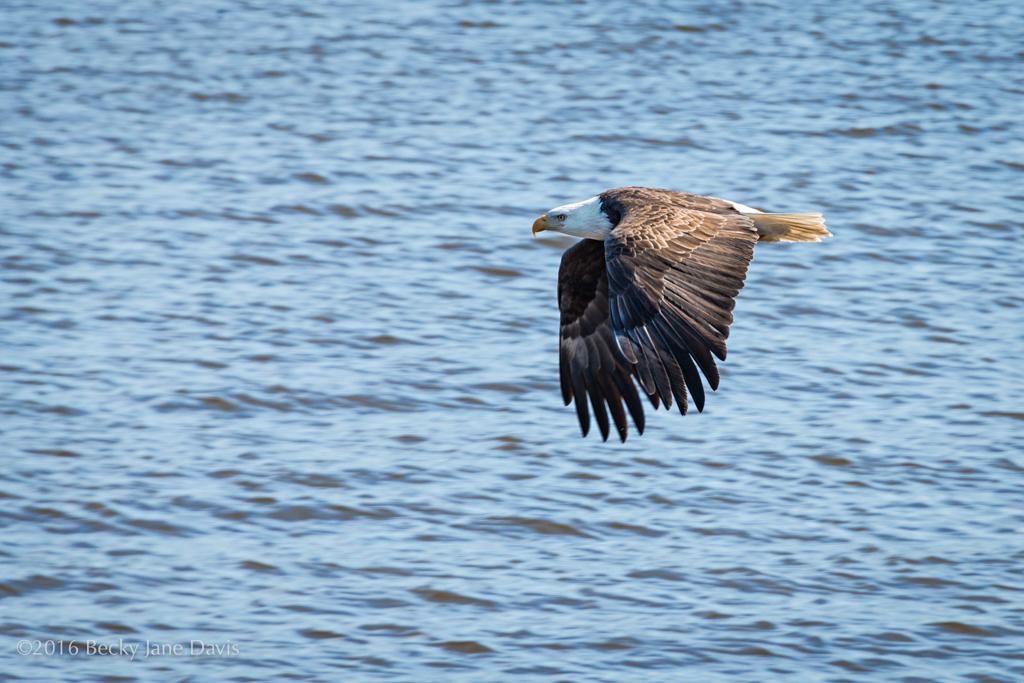 BDavis_Eagle02