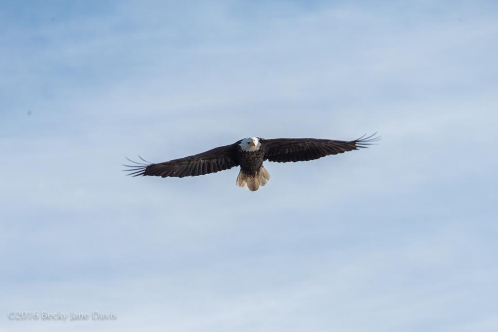 BDavis_Eagle06