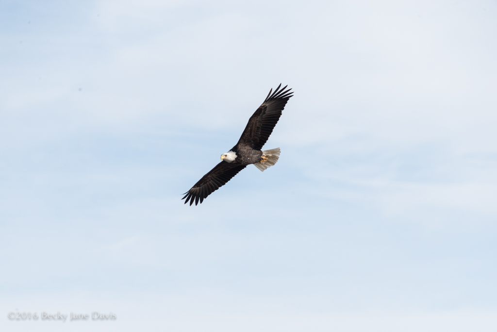 BDavis_Eagle10