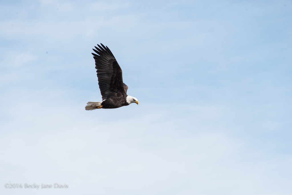 BDavis_Eagle12