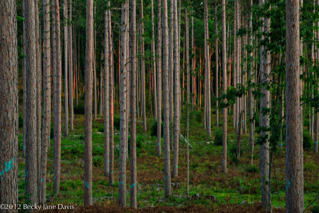 Pines with the Gold of Sunset Relected on Bark