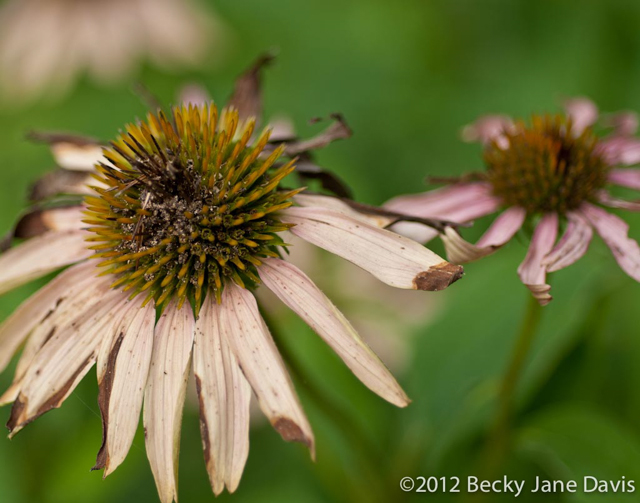 Dying Coneflowers
