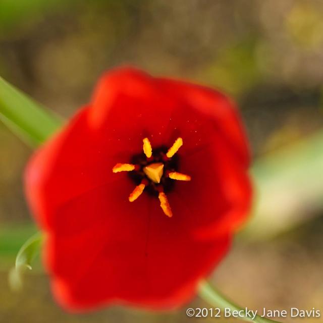 Impressionist Tulip