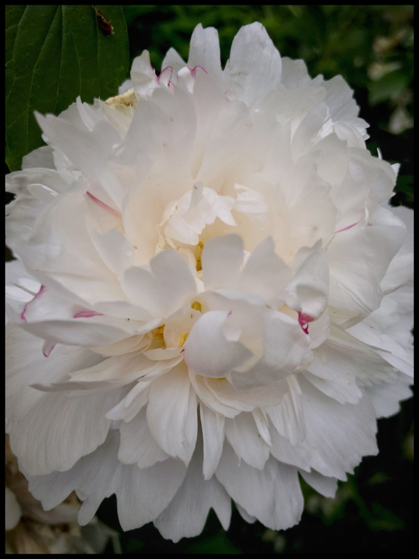 White with a Tinge of Pink