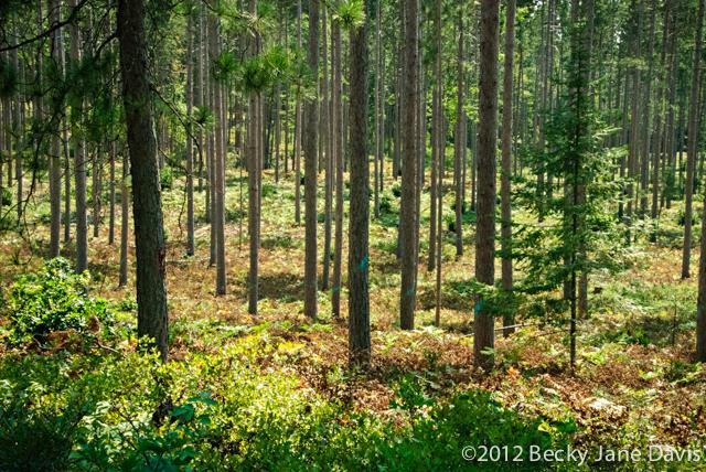 pines-0047