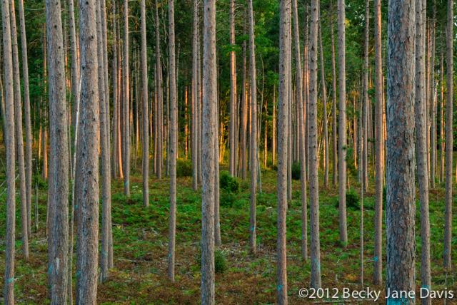 pines-0049