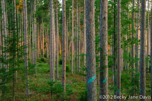 pines-0050