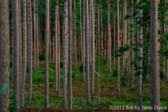 pines-0054