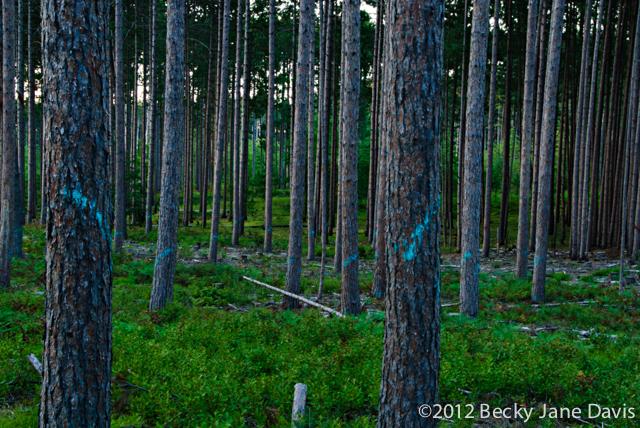 pines-0055