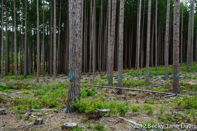 pines-0059