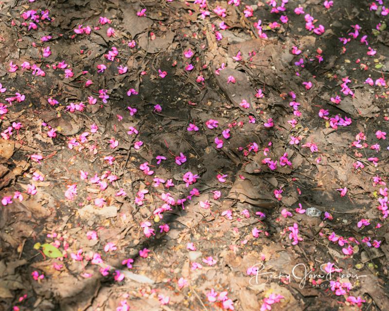 Redbud Petals