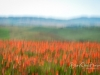 SanQuirico_03-red-poppies