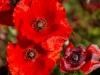 SanQuirico_04-red-poppy