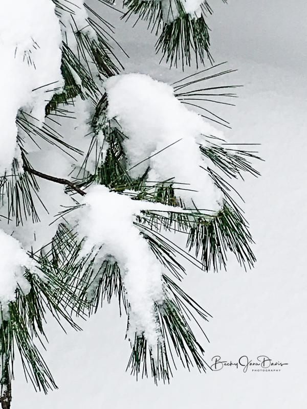 Pine Needles Weighted with Snow