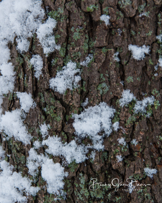 Snow Clings to the Bark