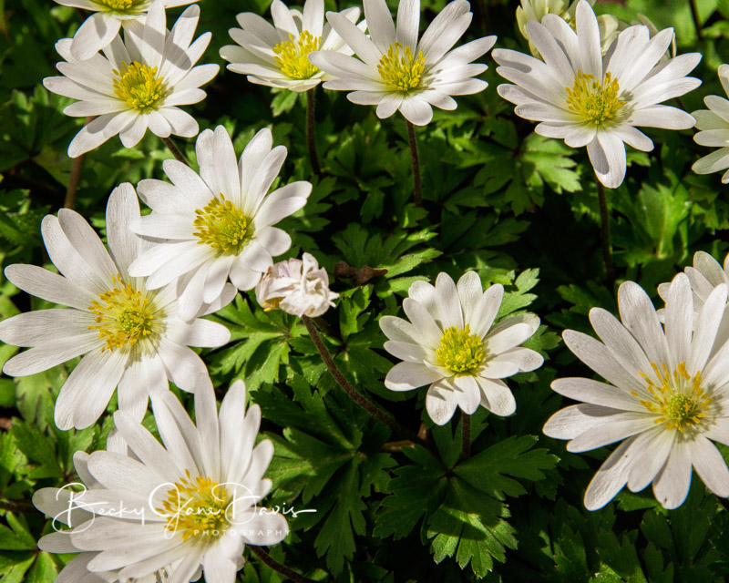 White Windflowers