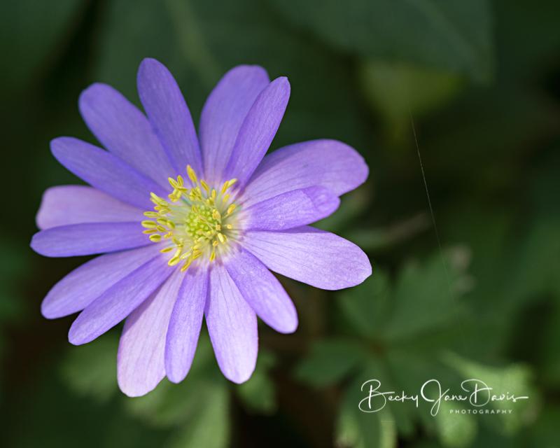 Purple Windflower