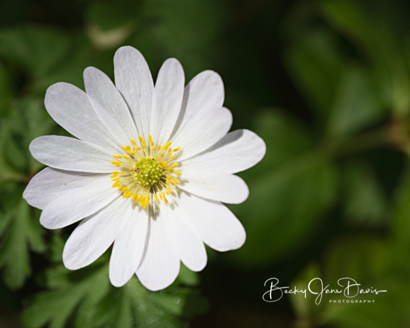 White Windflower