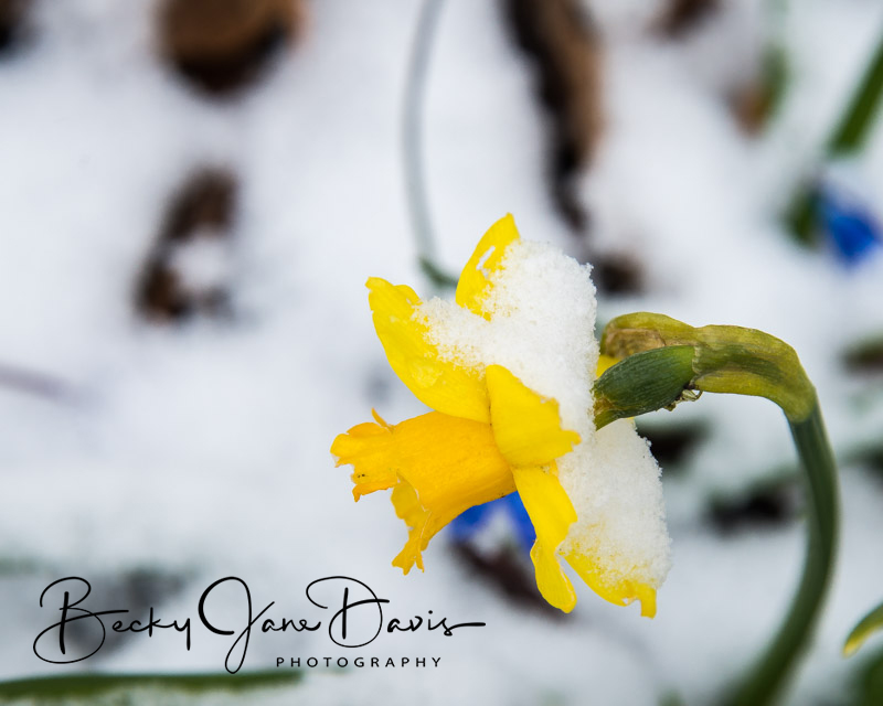 Snow on the Yellow Flowers