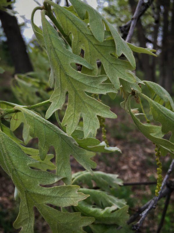 Bur Oak baby leaves in the wind