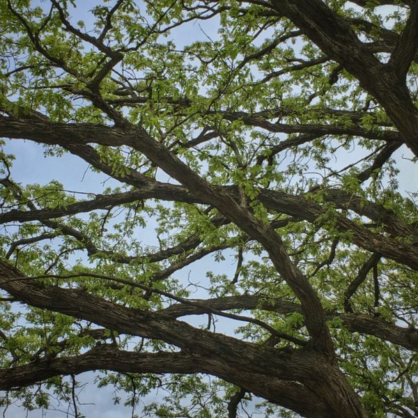 Bur Oak branches and leaves