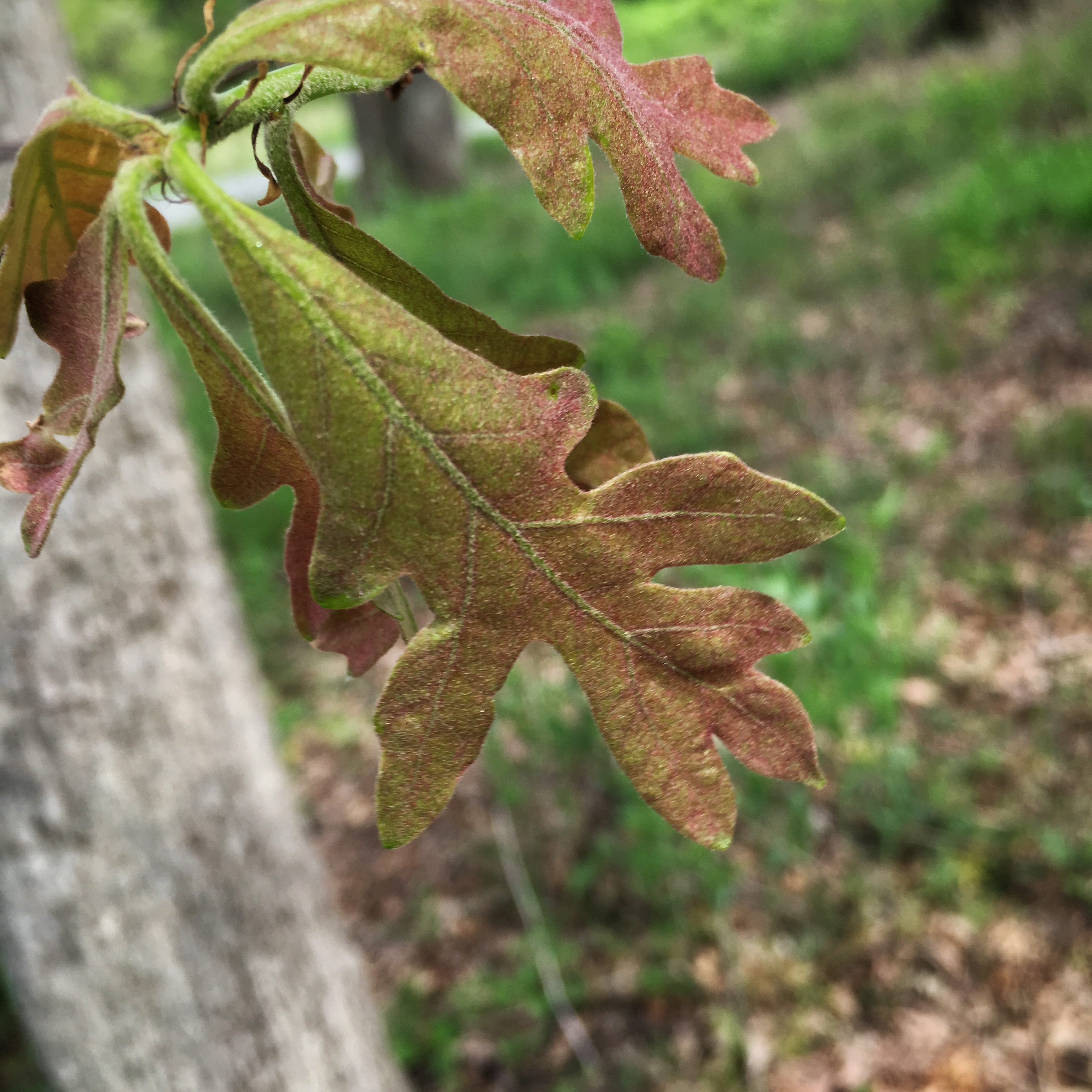 Baby Bur oak leaves