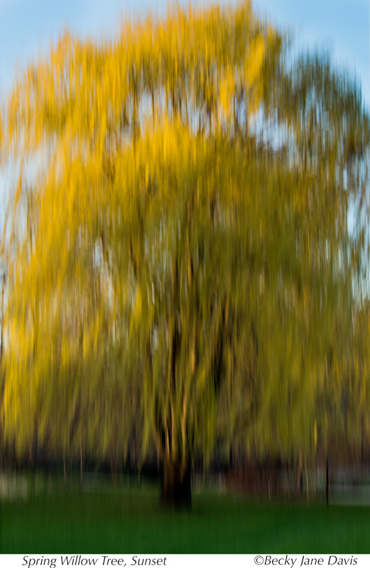 Spring Willow, Sunset
