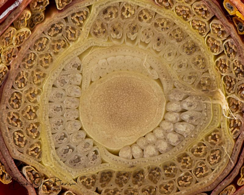 Banana-Flower-cross-section-closeup