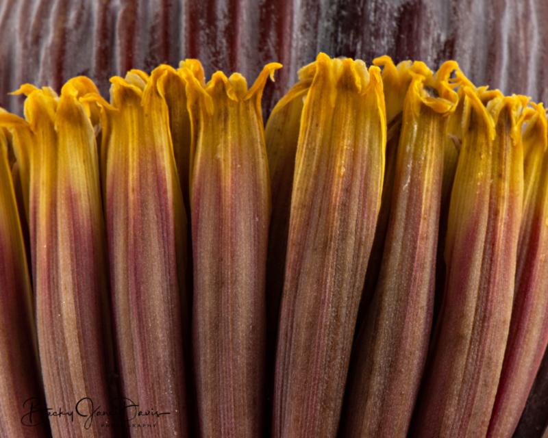 Banana-Flower-closeup