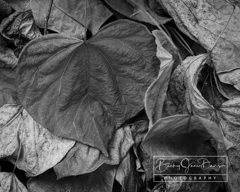 Decomposing Redbud Leaves