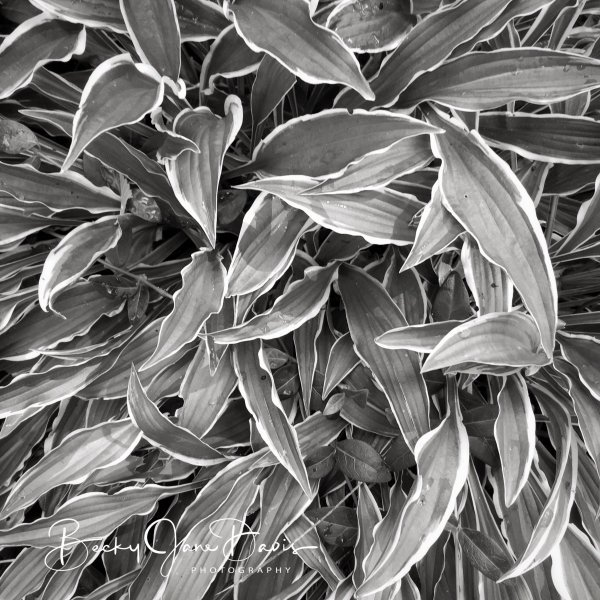 Needle Leaf Hosta