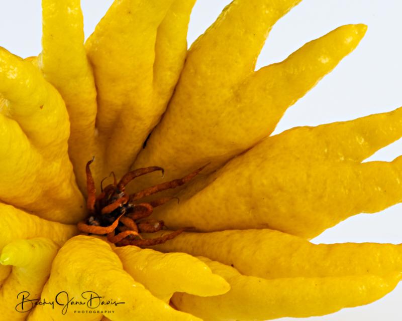 Buddha-Hand-Citron-closeup