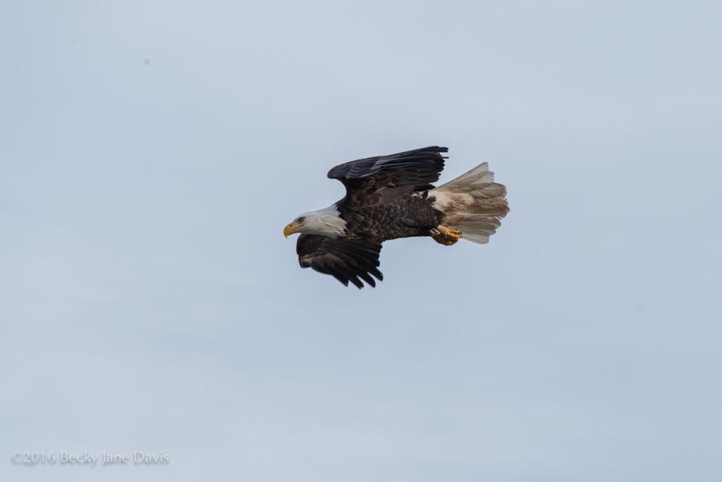 BDavis_Eagle20
