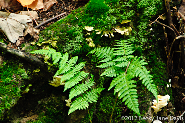 Michigan Fern