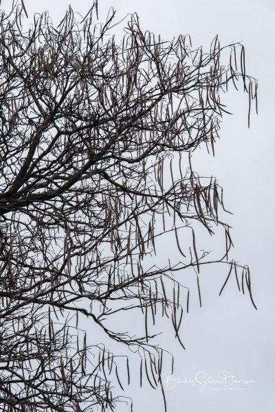 Catalpa Tree and Beans