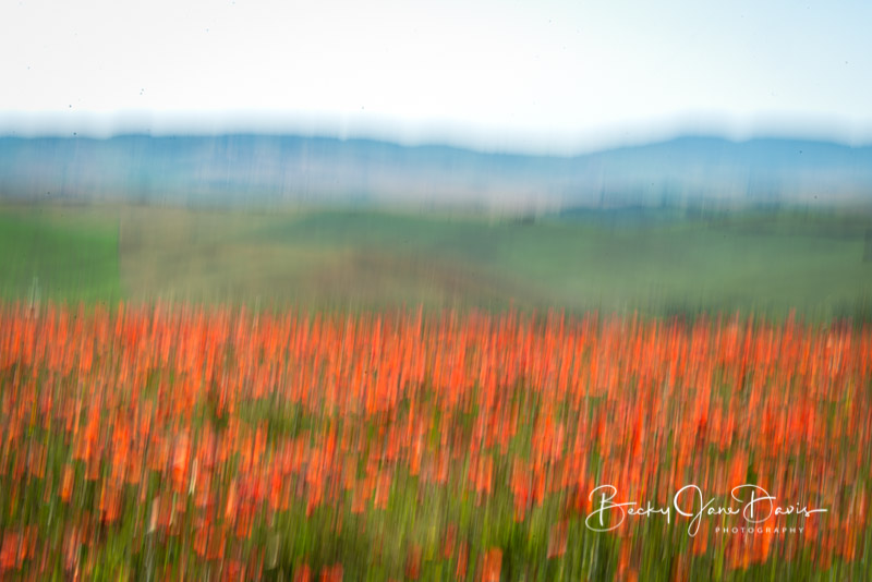 valdrcia_04-red-poppies