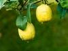 Montepulciano_14-lemons