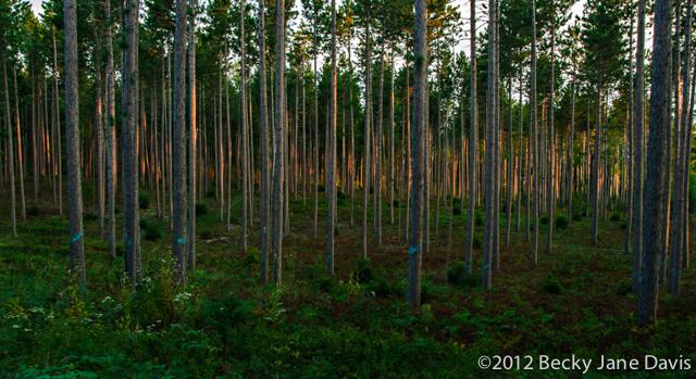 pines-0048