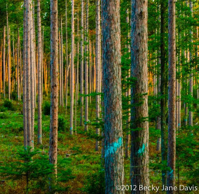 pines-0051