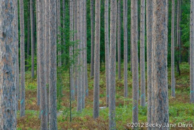 pines-0052