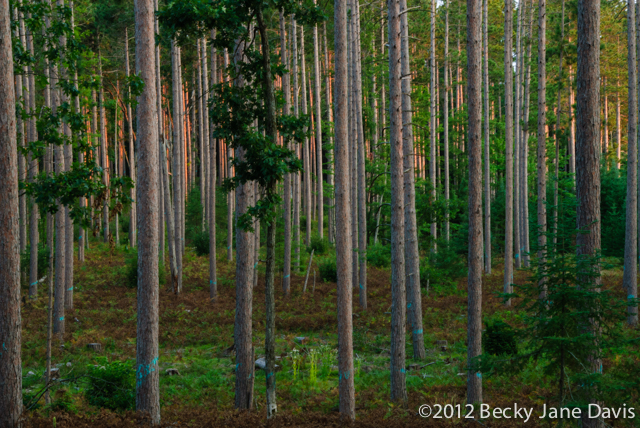 pines-0053