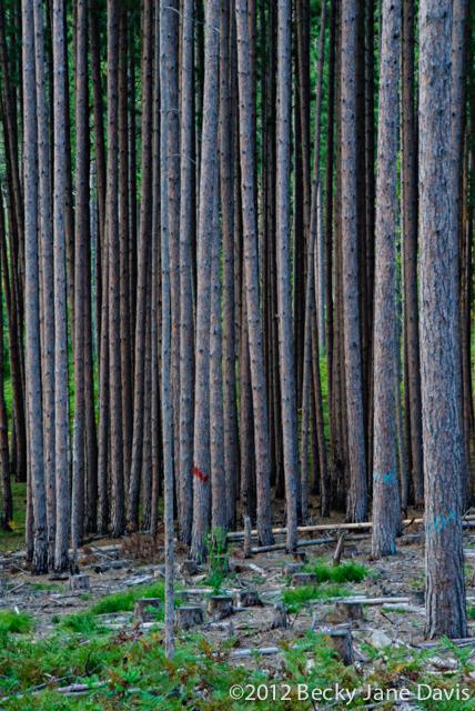 pines-0056